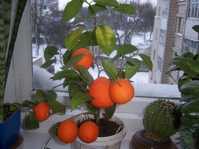 через сколько плодоносит апельсин