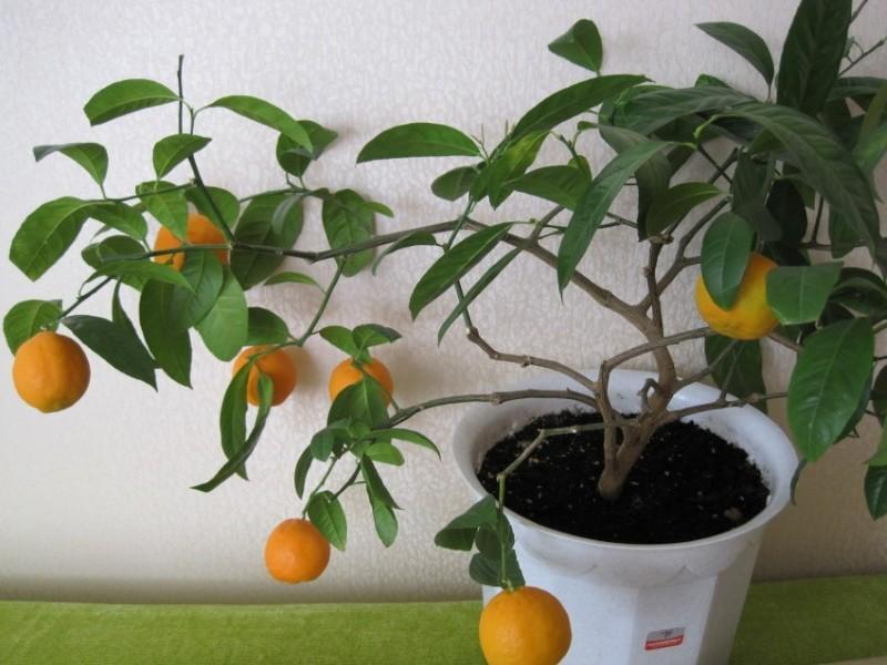 когда первое плодоношение у апельсина