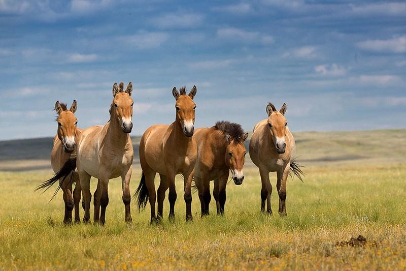 дикие лошади в природе