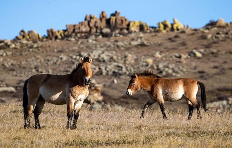 лошадь Пржевальского в высокогорной долине