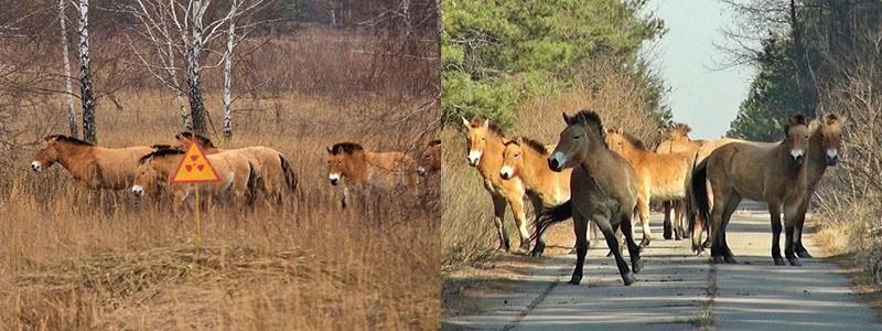 табун лошадей в Чернобыльской зоне и Казахстане