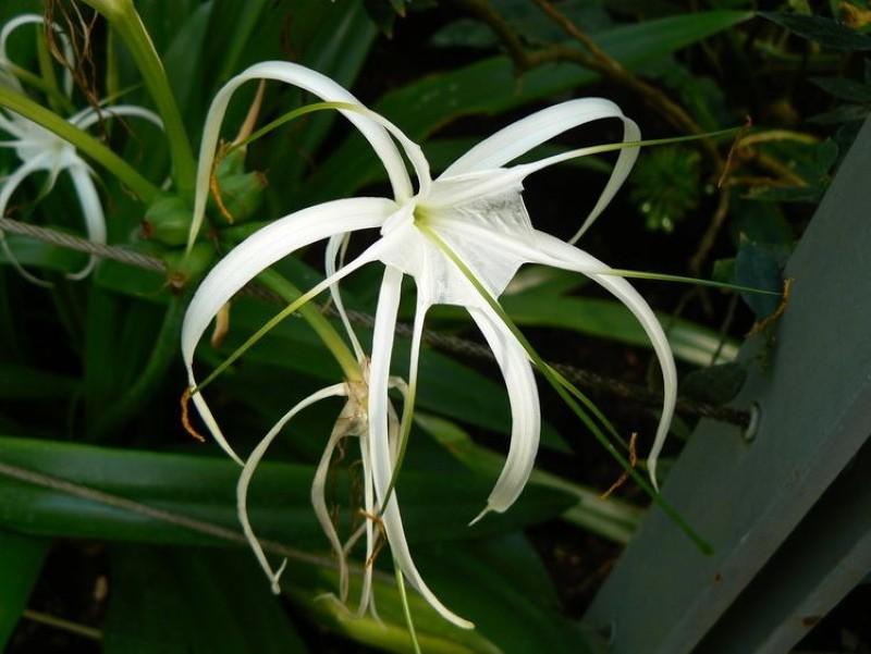 цветение гименокаллиса