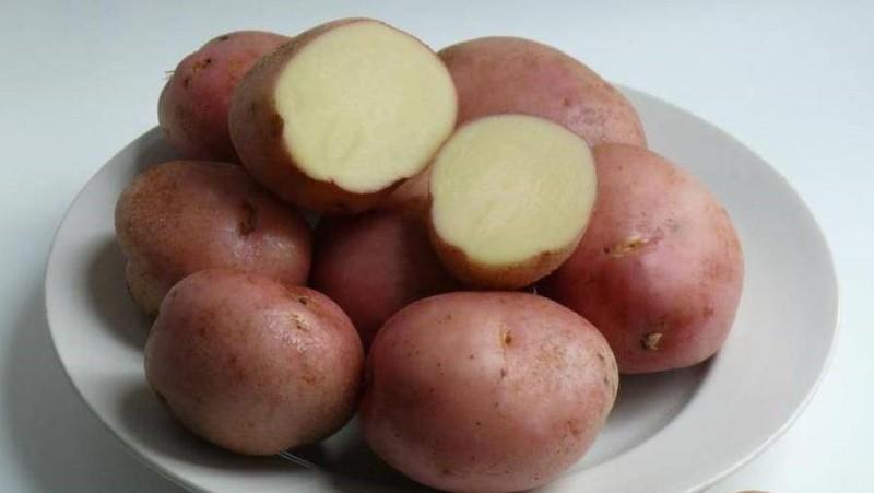 клубни картофеля ильинский