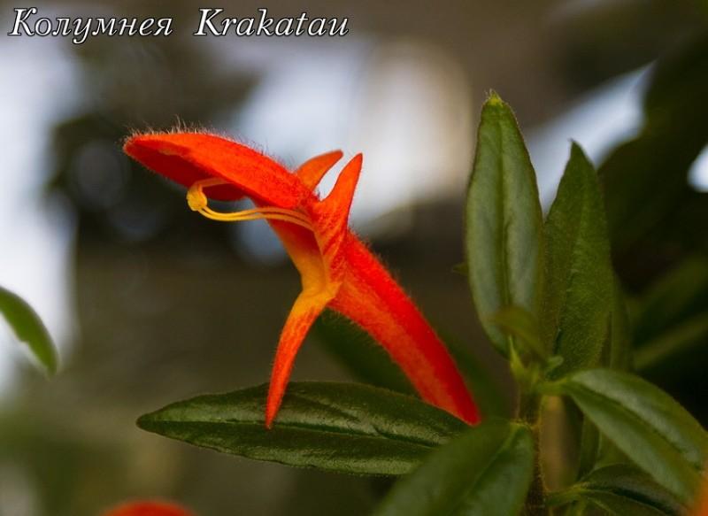 цветение колумнеи кракатау
