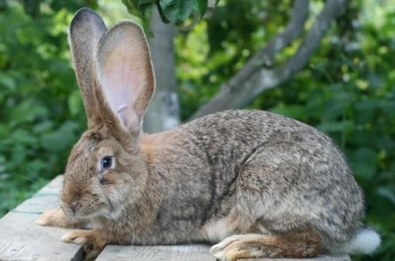 можно ли есть мясо больных миксоматозом кролей