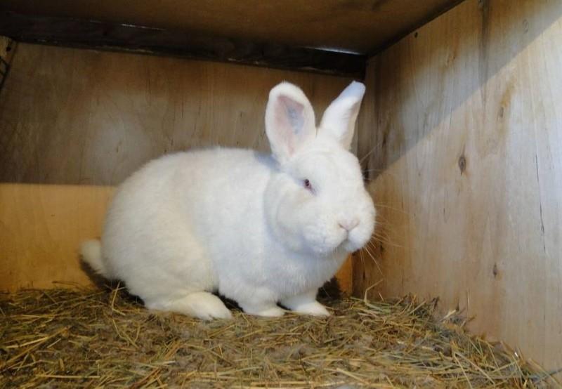 особенности разведения новозеландских кроликов