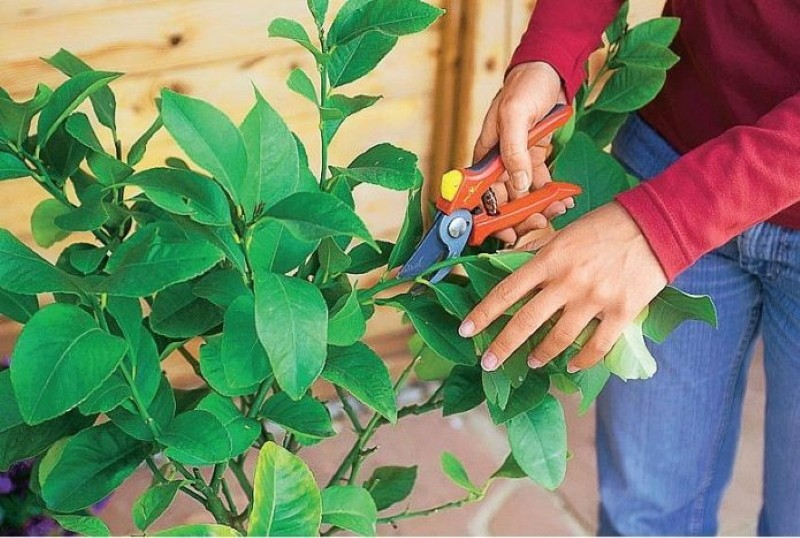 как обрезать апельсиновое дерево в домашних условиях