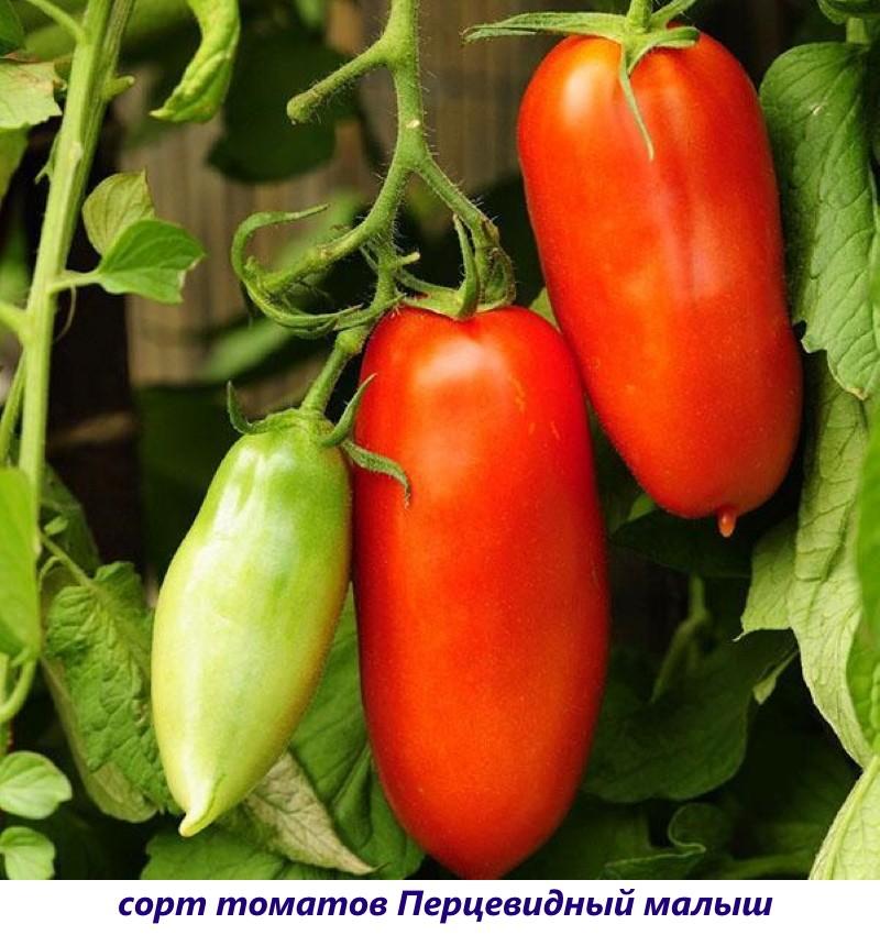 томат перцевидный малыш