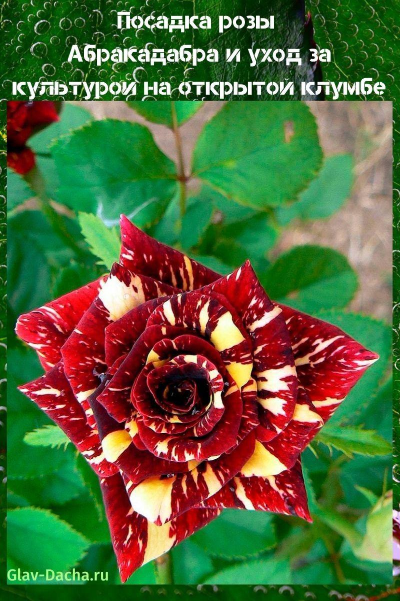 посадка розы Абракадабра и уход
