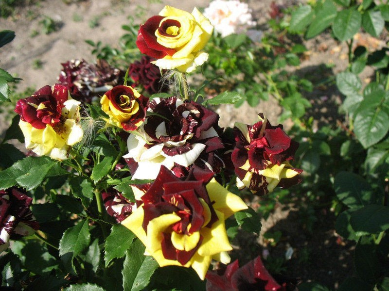 пышное цветение розы сорта Абракадабра