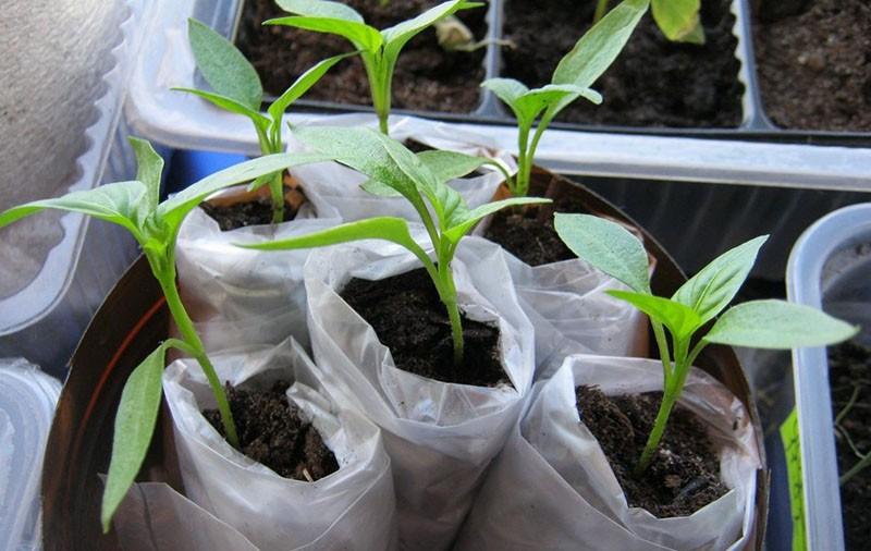 особенности выращивания рассады в пеленках