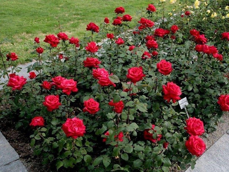чайно-гибридная роза Гранд Гала