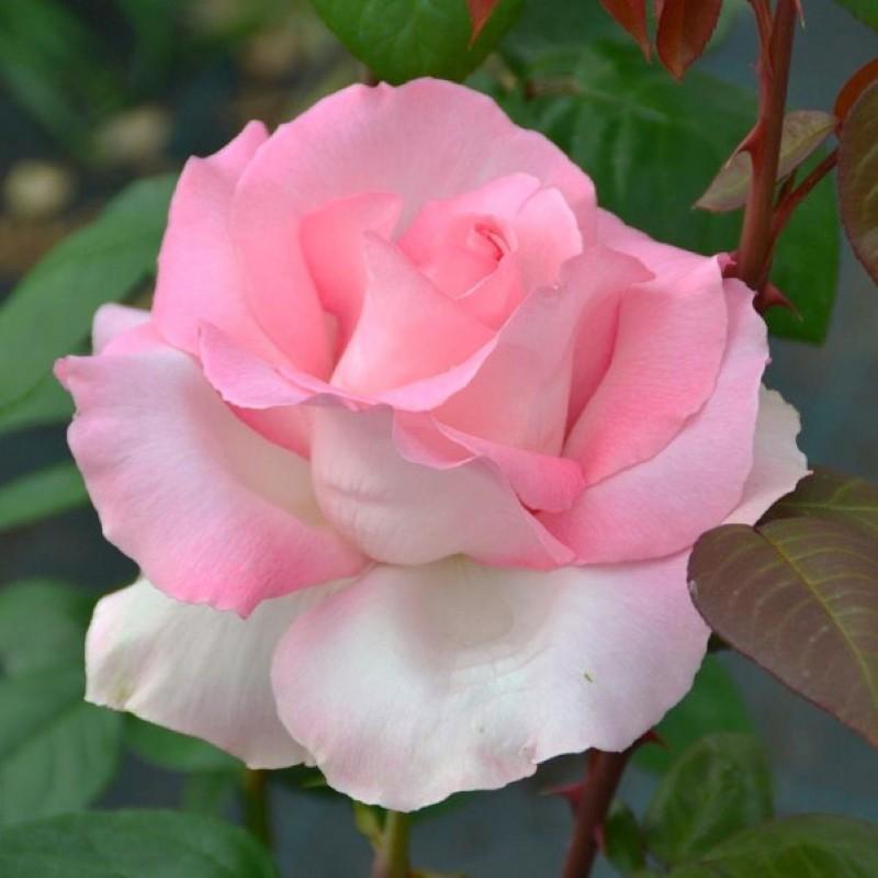 роза гранд сьекль
