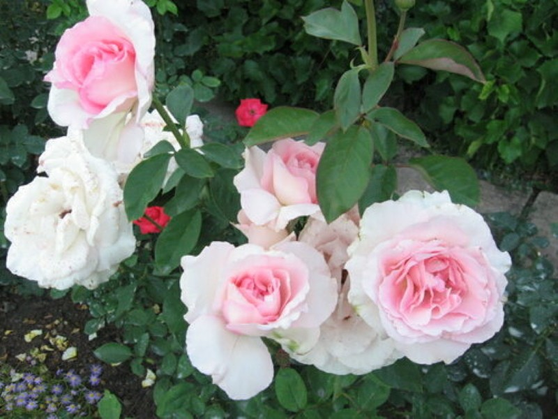особенности розы гранд сьекль