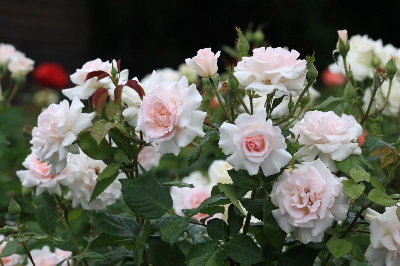 как вырастить розу гранд сьекль