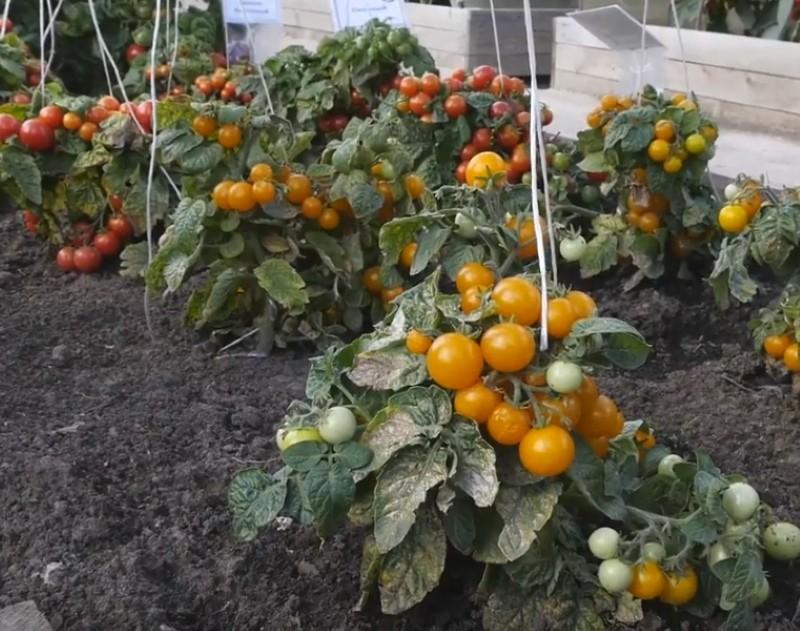 штамбовые сорта томатов для сибири