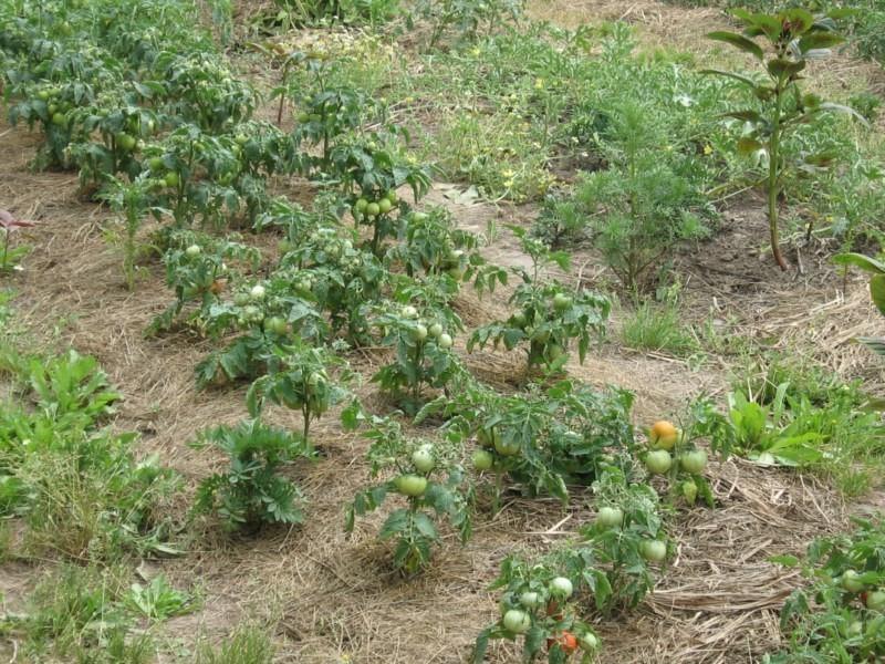 что такое штамбовые помидоры