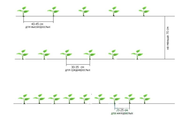 схема посадки перца