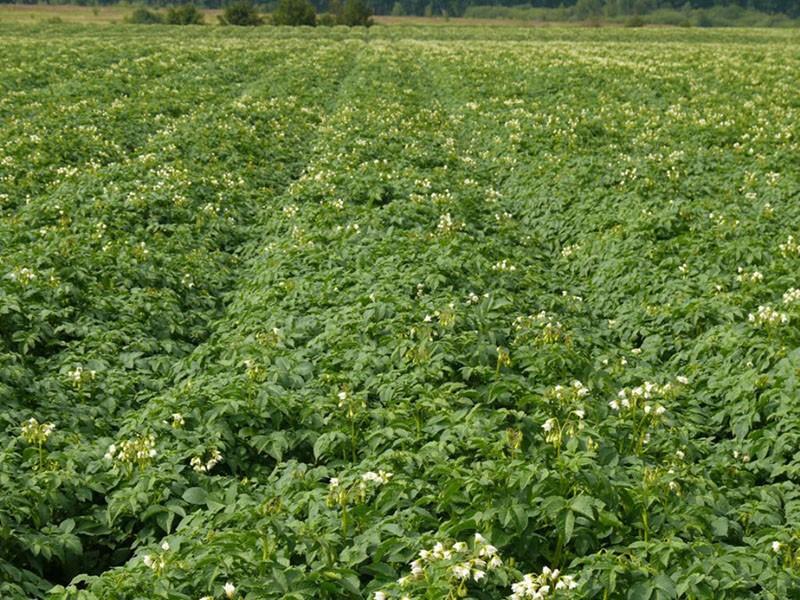 посадки картофеля невский