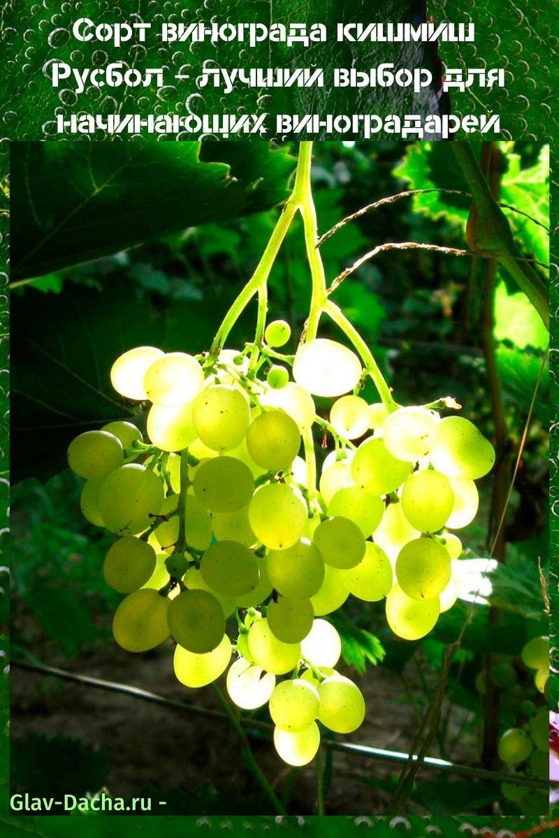 сорт винограда кишмиш Русбол