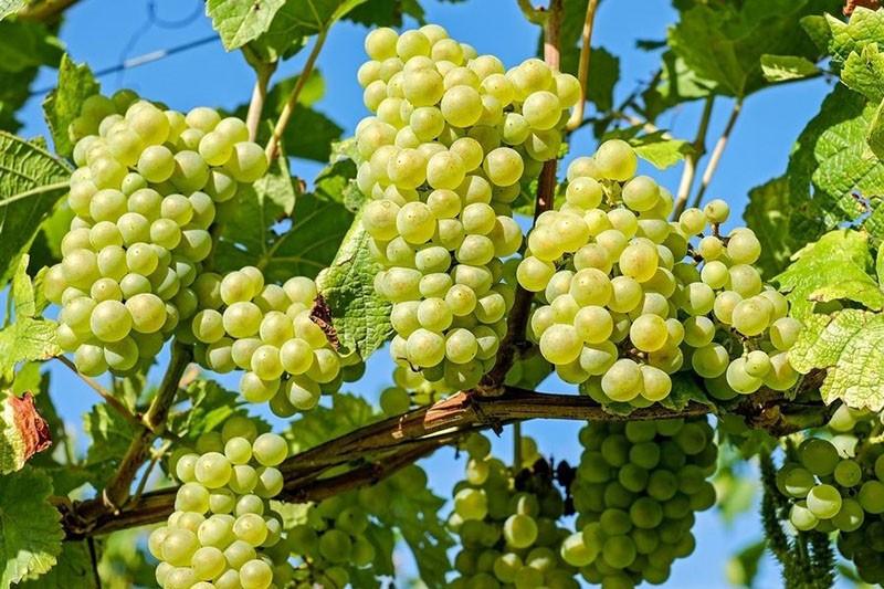выращивание винограда сорта Русбол