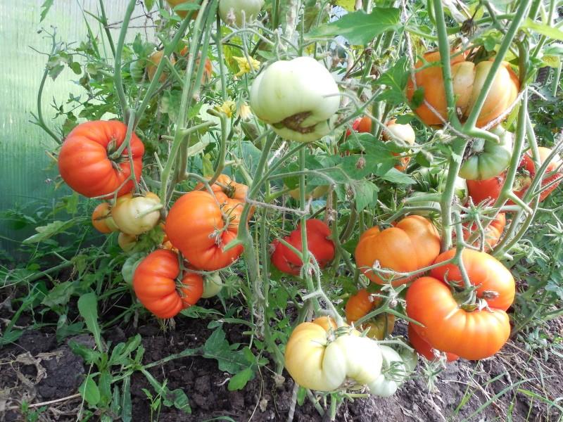 куст томатов король ранних