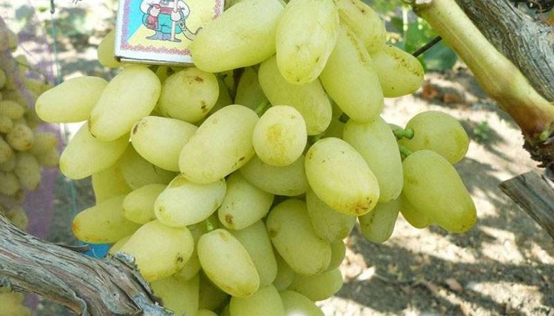 крупноплодный виноград Долгожданный