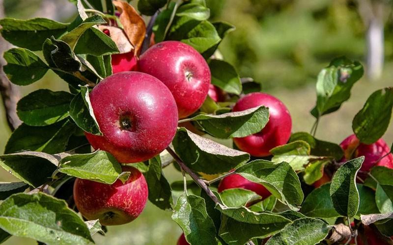 ароматные плоды яблони Малиновка