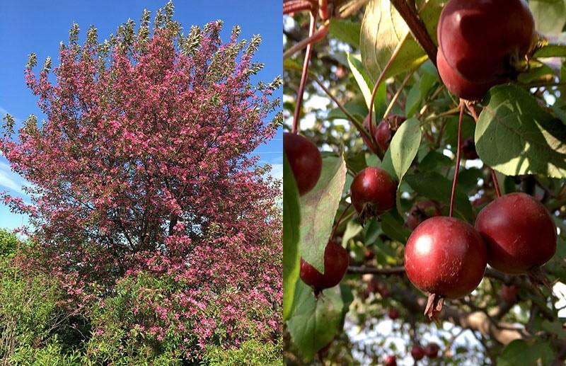 яблоня Малиновка