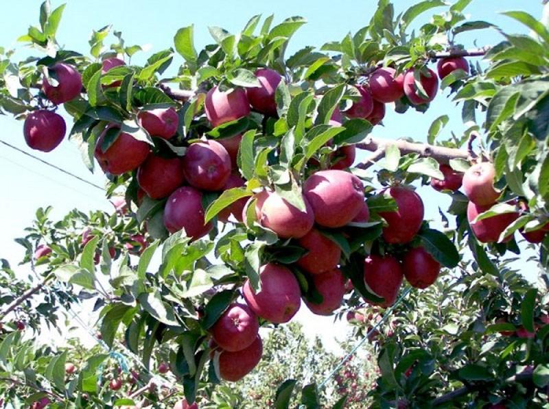 спелые плоды яблони