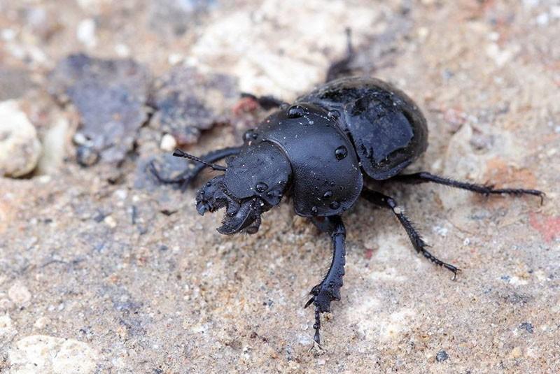 внешний вид жука-стригуна
