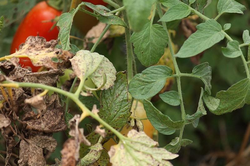 Грибковые и вирусные болезни томатов в теплице и их лечение