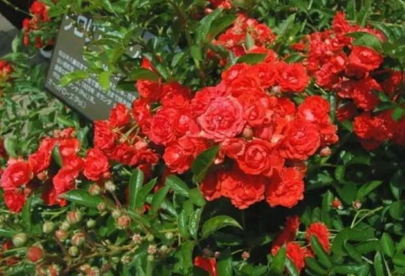 сортовые особенности розы глория мунди