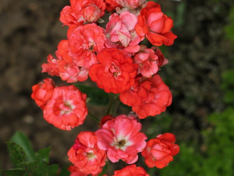 соцветие розы глория мунди