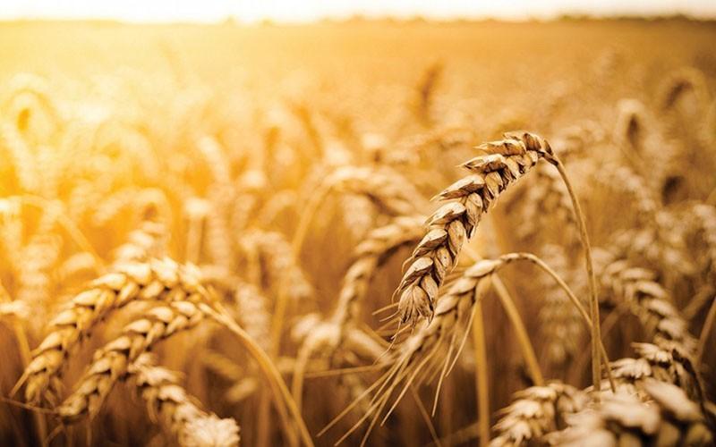 чистое пшеничное поле