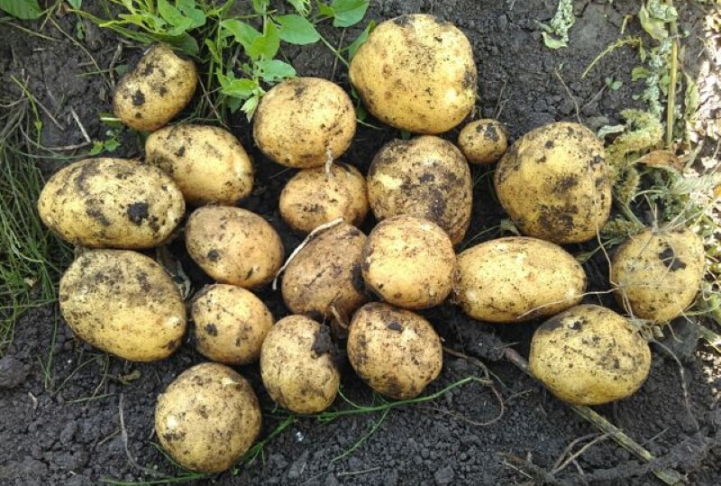 описание картофеля сорта венета