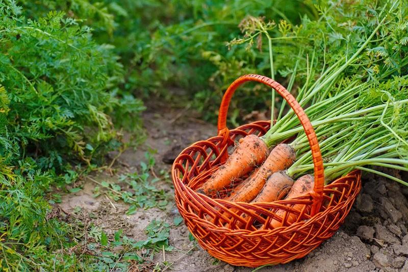 лучшие сорта моркови для Подмосковья раннего срока созревания