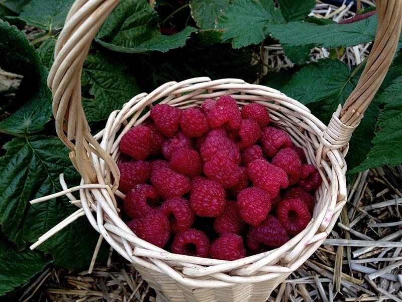 крупные сладкие ягоды