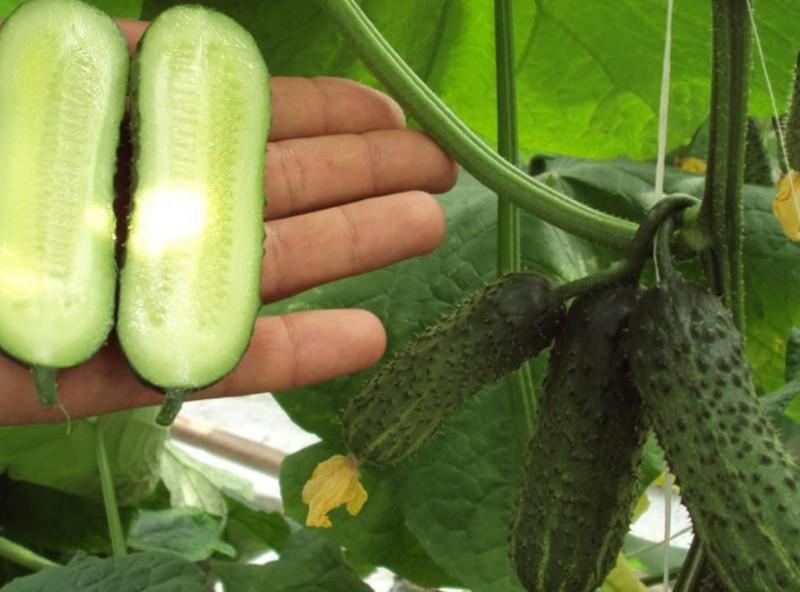 плоды огурцов либелле