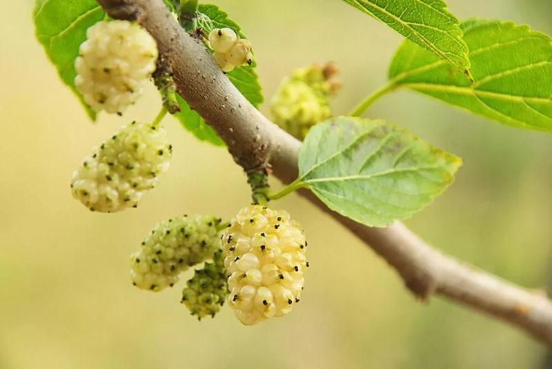 образование плодов из женских соцветий