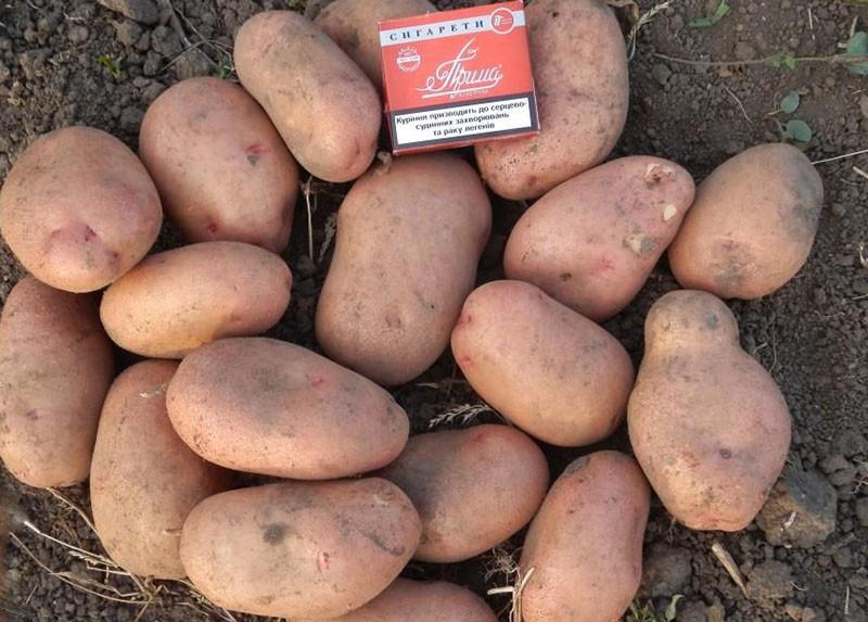 среднеспелый сорт картофеля славянка