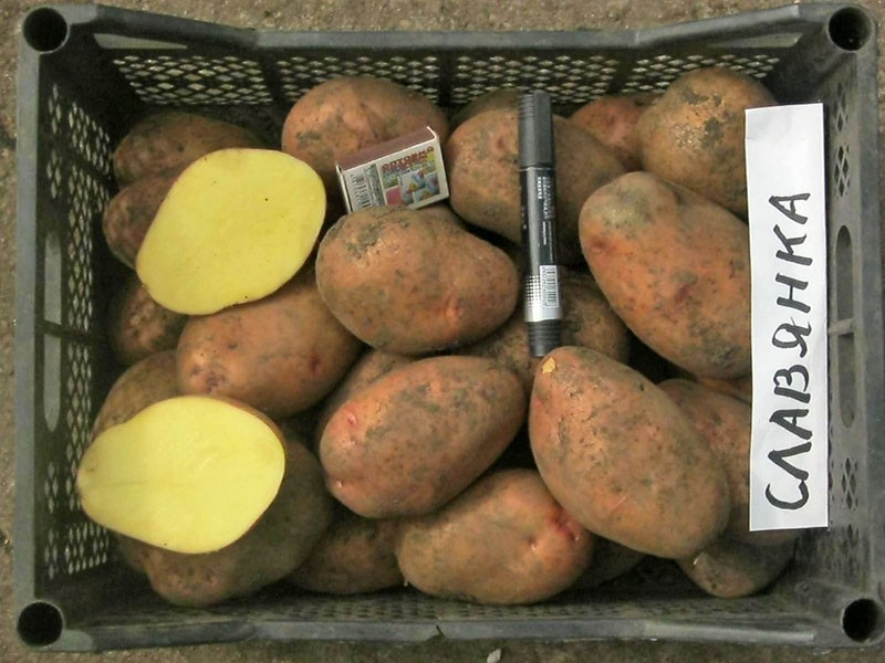 сорт картофеля славянка с отличными вкусовыми качествами