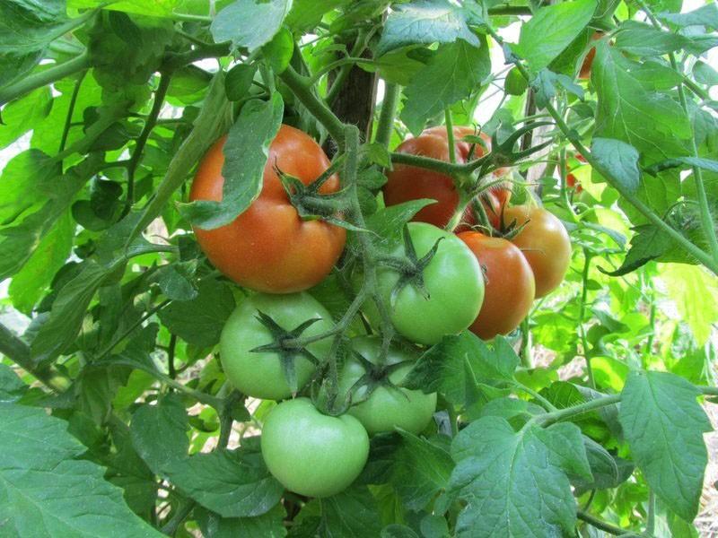 выращивание томатов Президент