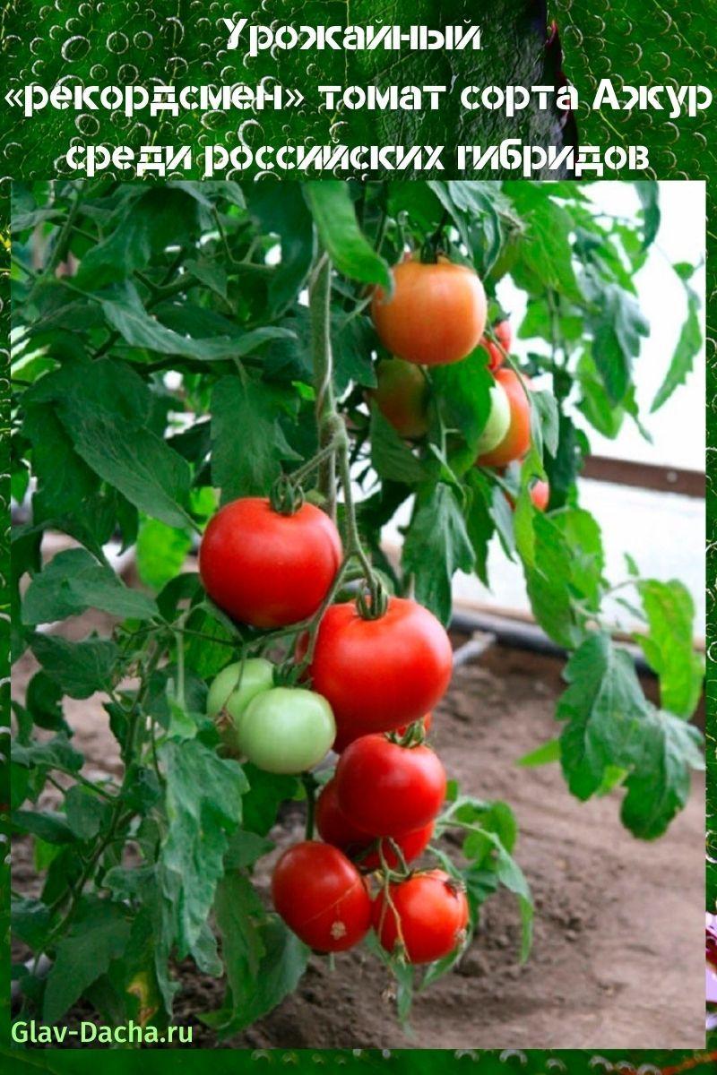 томат сорта ажур
