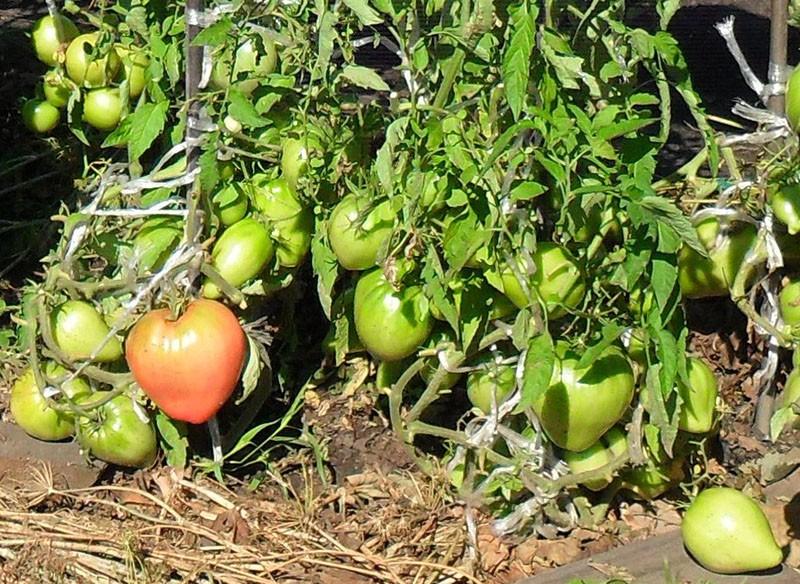 высокоурожайный томат сорта Севрюга