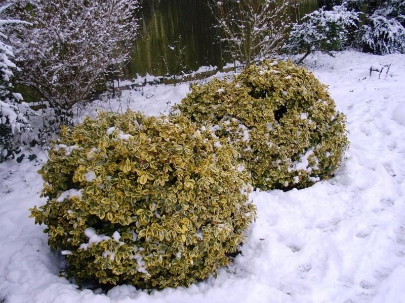 вечнозеленые лиственные кустарники