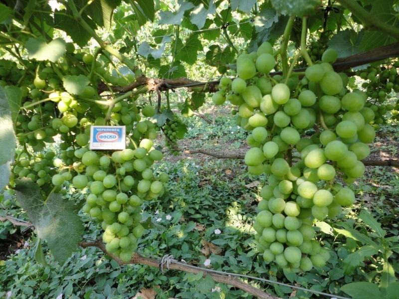куст винограда белое чудо