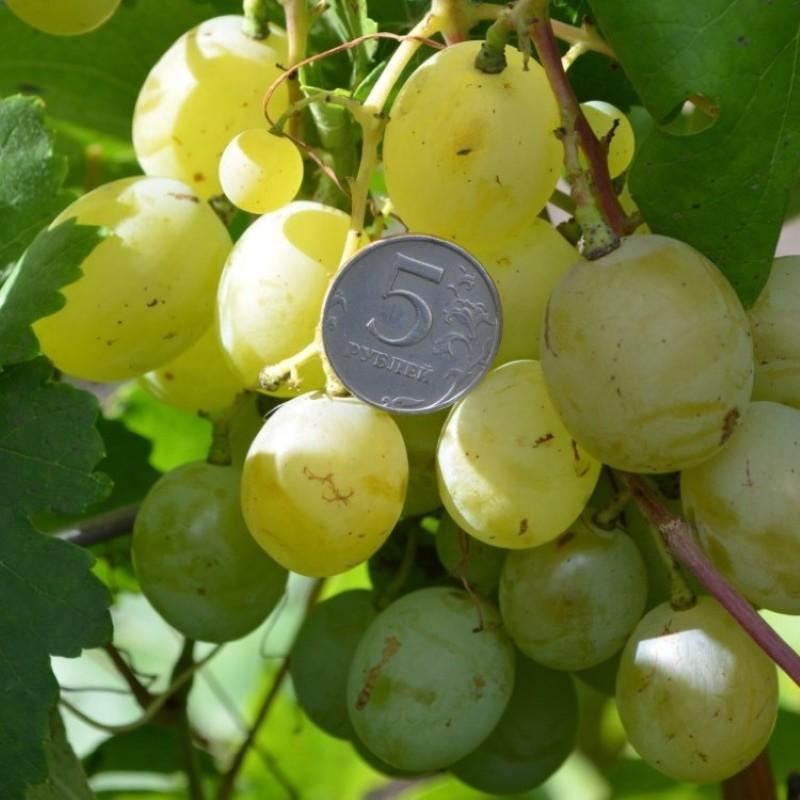 ягоды винограда белое чудо