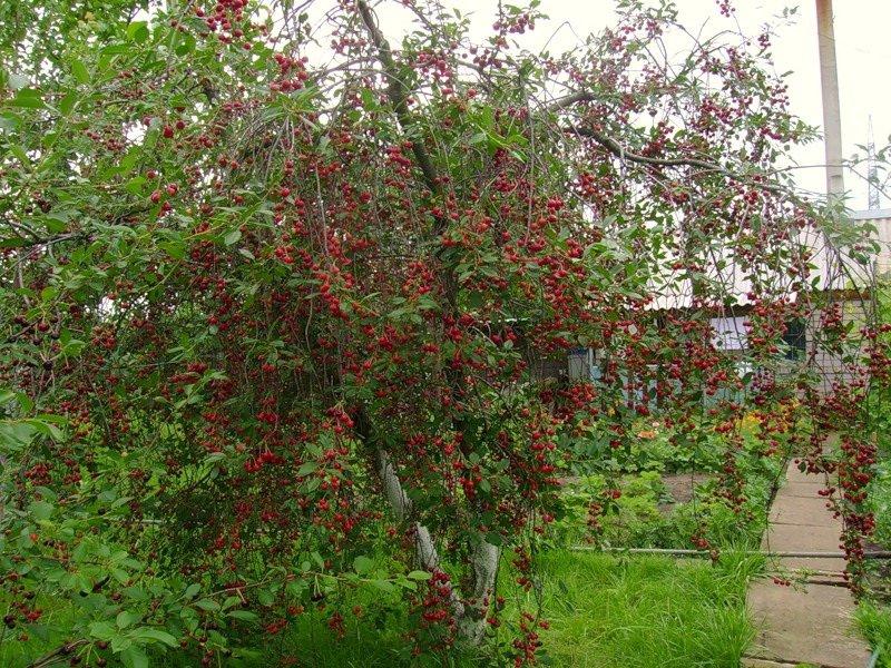 дерево вишни балатон