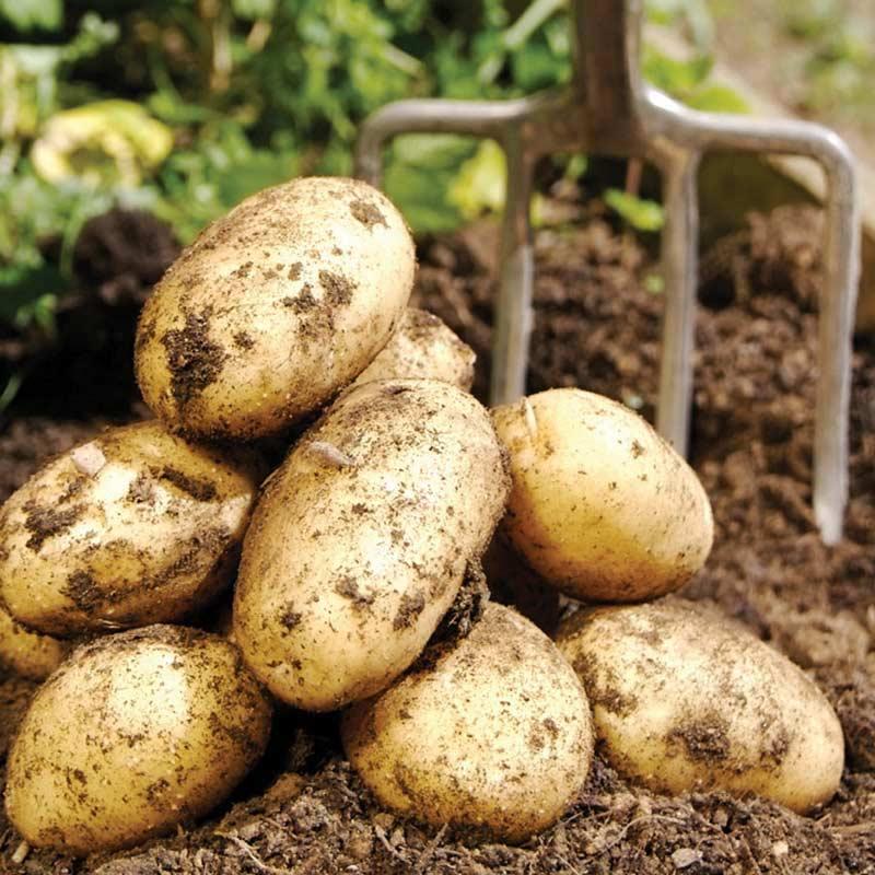 засухоустойчивые сорта картофеля